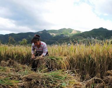 水稻基地展示